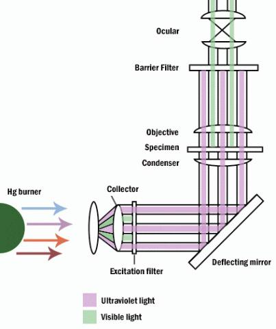 """Эти идеи Аббе о возможности использования ультрафиолетовых лучей для повышения разрешающей способности микроскопов были реализованы в 1904 г. в конструкции микроскопа, созданного сотрудниками фирмы """"<strong>Сarl Zeiss</strong>""""  Р. Келером и М. Рором. В качестве оптического материала линз для этих микроскопов оказались пригодными кварц и фтористый литий. Для регистрации изображения были использованы фотографические пластинки. В дальнейшем методы наблюдения микроскопических объектов в ультрафиолетовых лучах были развиты в работах английских физиков Д. Бернарда, Л. Мартина и советского ученого Е.М. Брумберга."""